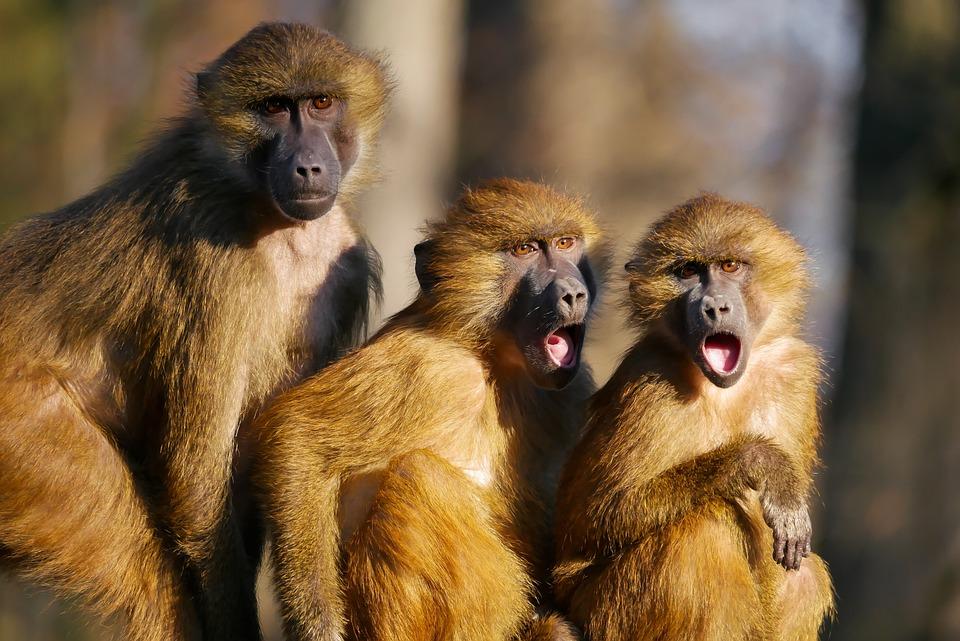 monkeys animals three ape berber