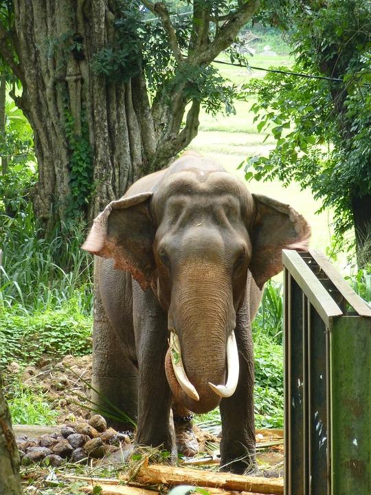 Elephant, Animals, Animal, Tusk, Pachyderm, Ivory