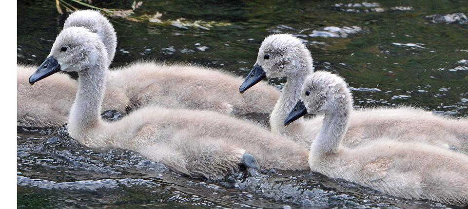 Animals, Young, Water Bird, Young Animal, Swan, Swans
