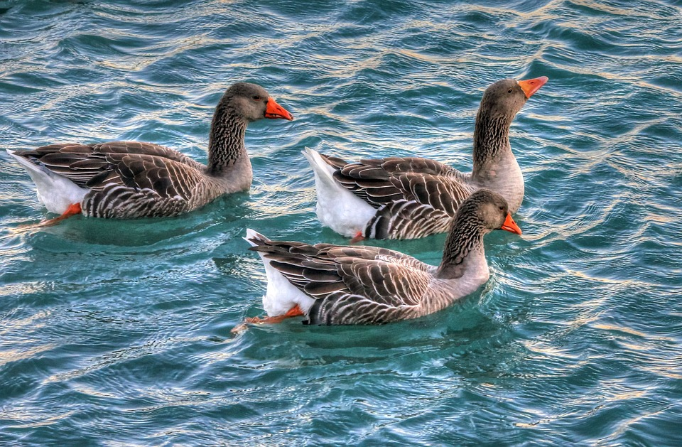 Geese, Water, Birds, Waterfowl, Swimming, Animals