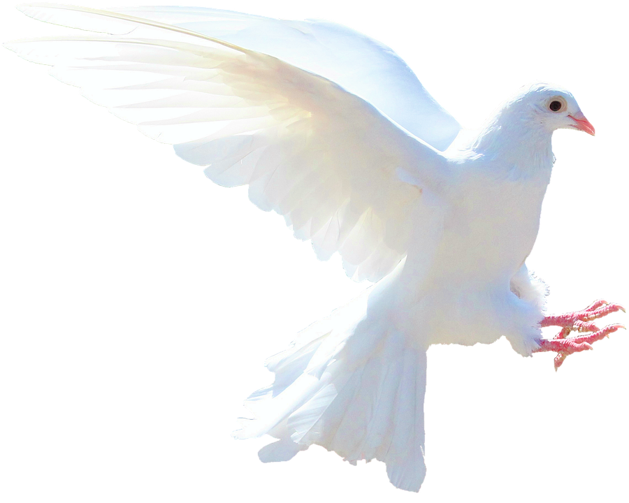 White Dove, Nature, Bird, Animals