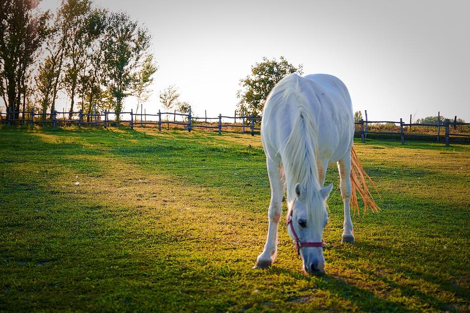Animals, Horse, Horses, Nature, Pasture, Economy, White
