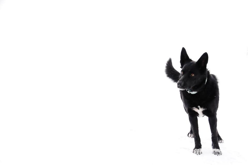 Dog, Black, Snow, White, Animal, Animals