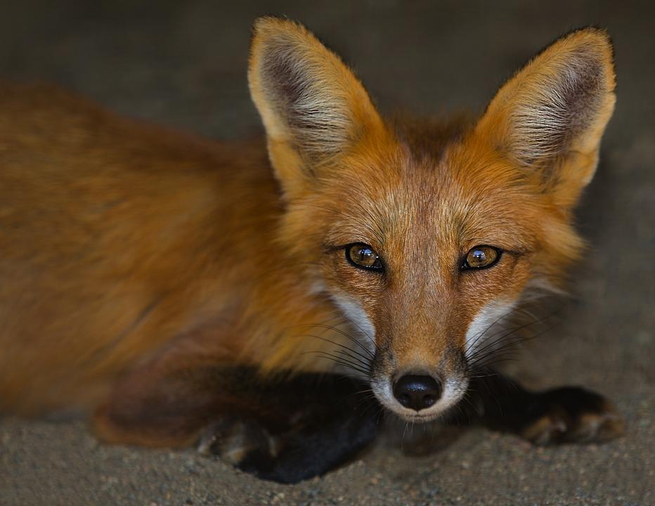 Fox, Animal, Wild, Nature, Animals, Roux