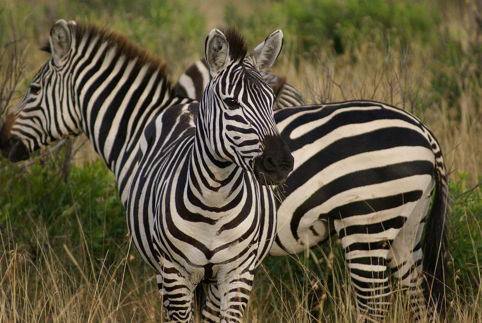Zebra, Animals, Wild