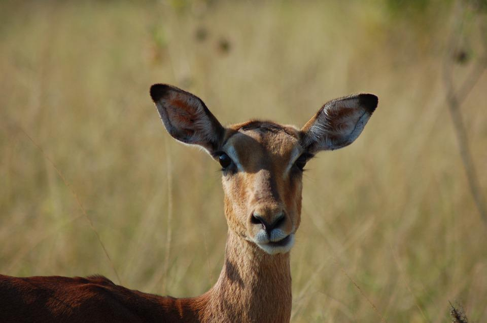 Africa, Animals, Impala, Wildlife, Savannah, Buck