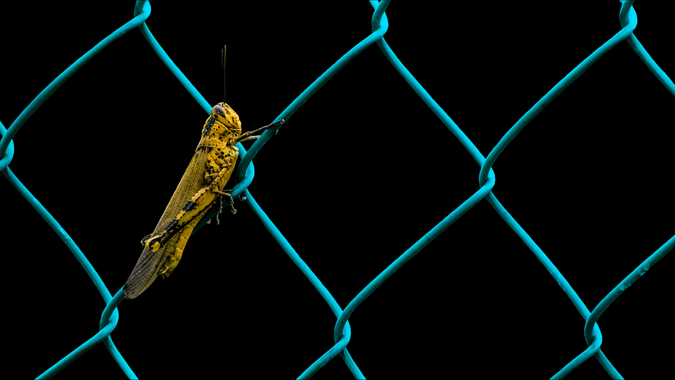 Grasshopper, Animals, Insect, Fence, Wire