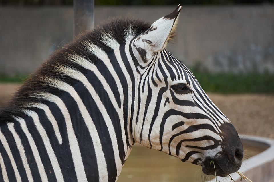 Zebra, Mammal, Stripes, Animals