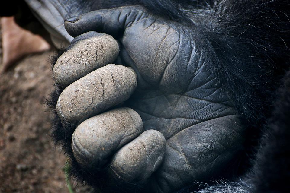 Gorilla, Fauna, Zoo, Animals, Animal World, Animal