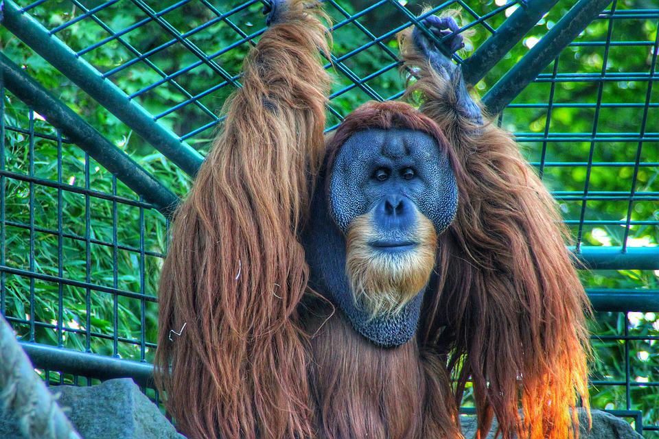 Ape, Wild, Wildlife, Zoo, Animel, Oranguta