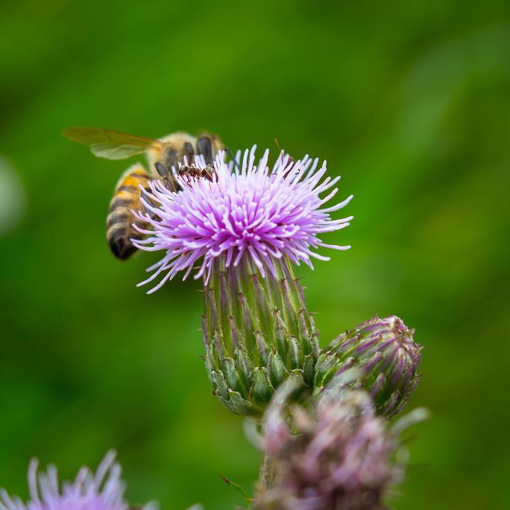 Thistle, Bee, Ant, Acker Thistle, Creeping Thistle, Eat