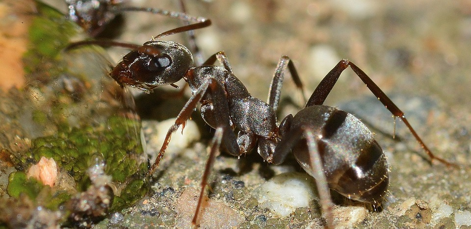 Insects, Ant, Serviformica, Cunicularia