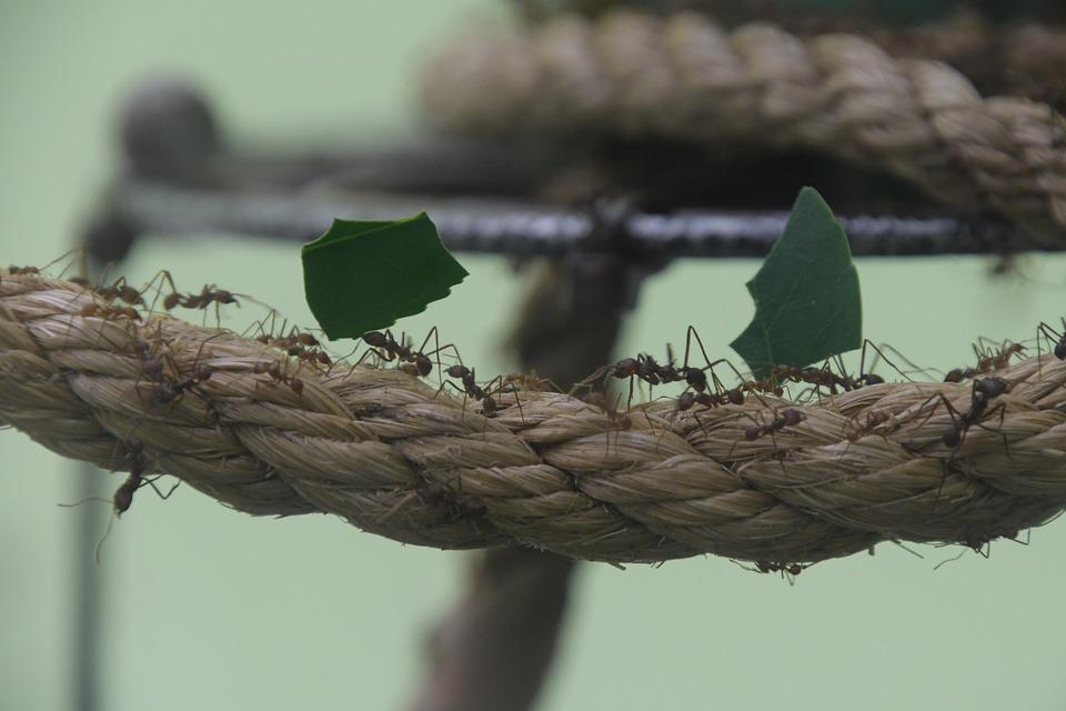 Ant, Leaf, Insect, Carry, Rope, Cooperation