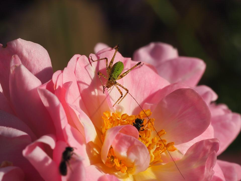 Grasshopper, Ant, Flower, Rose, Summer, Garden, Insect