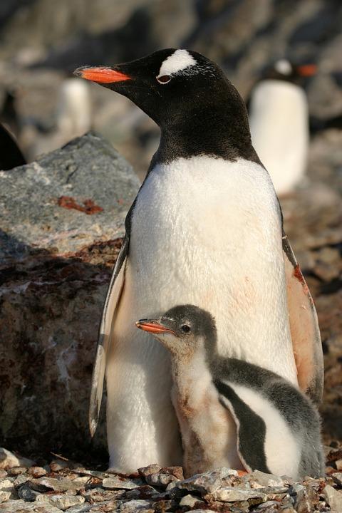 Antartica, Penguin, Animal, Snow