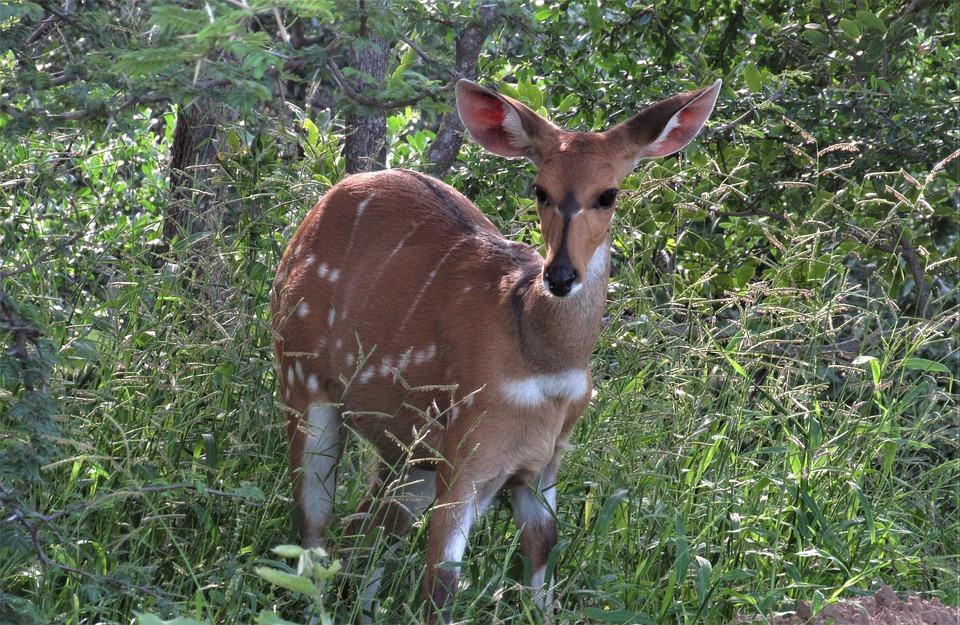 Bushbuck, Deer, Forest, Antelope, Mammal, Wildlife