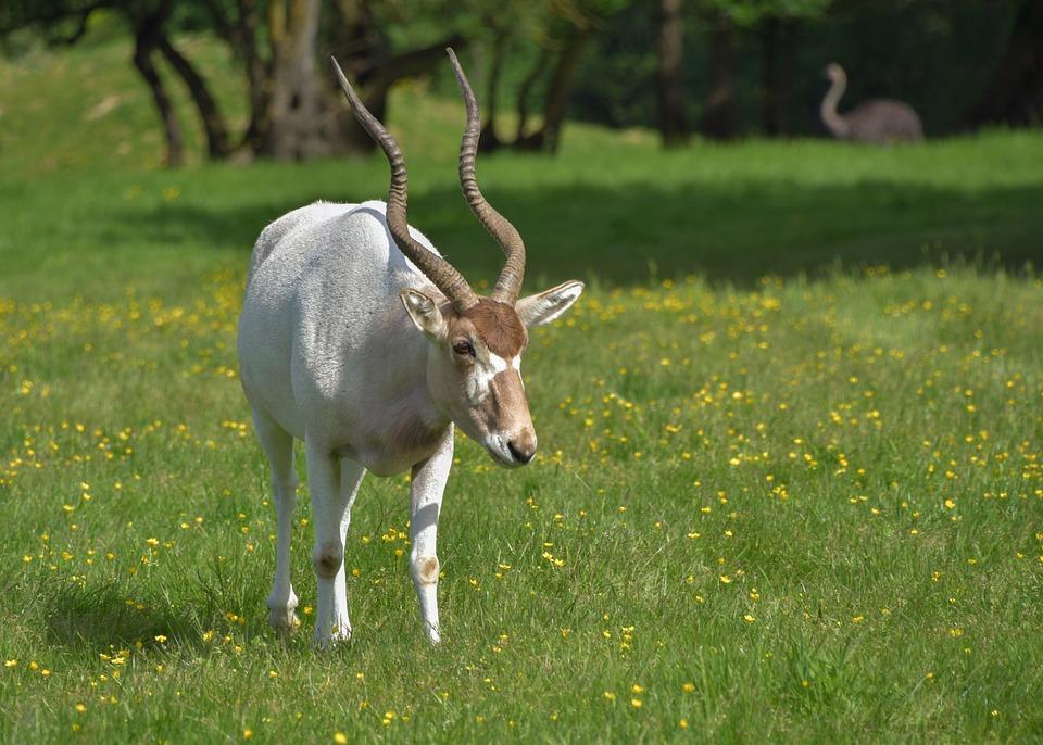 Antelope, Addax, Horn, Animal, Green