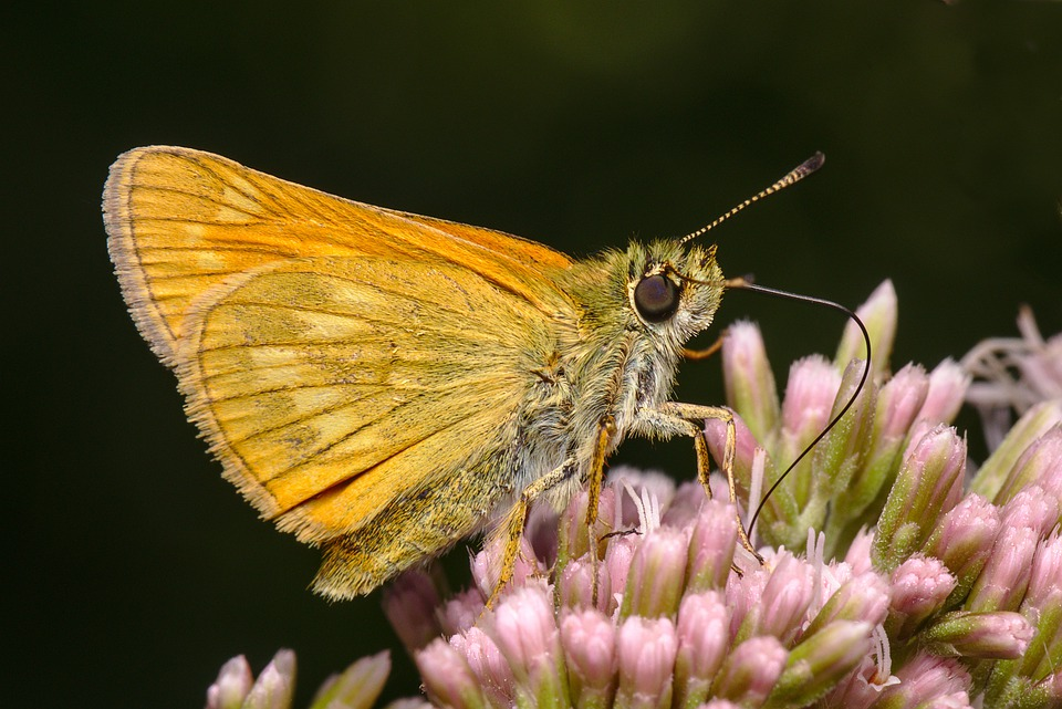 Butterfly, Insect, Bug, Wings, Antennae, Nature, Animal