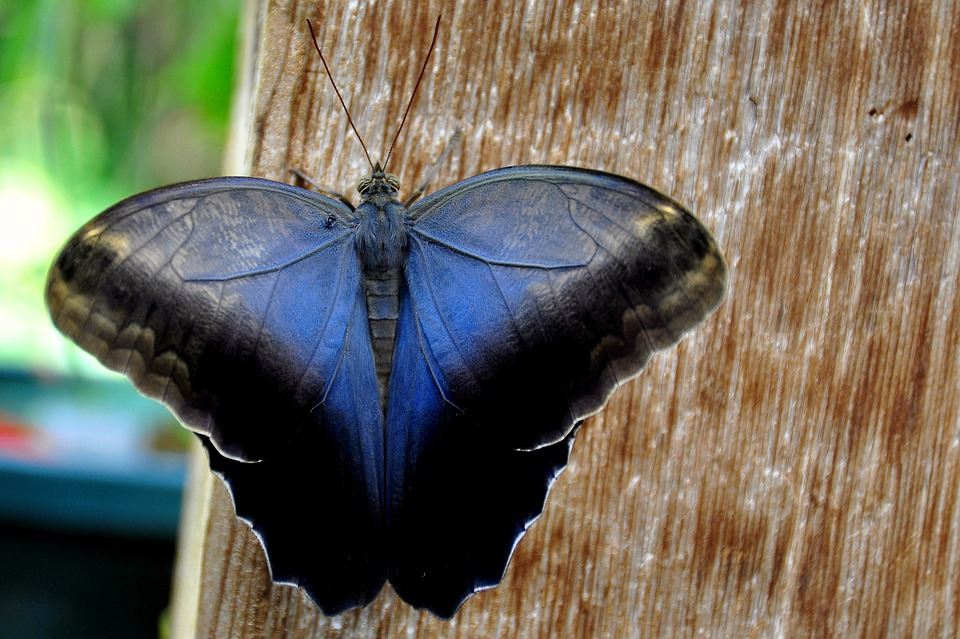 Cream Owl, Butterfly, Nature, Entomology, Antennae