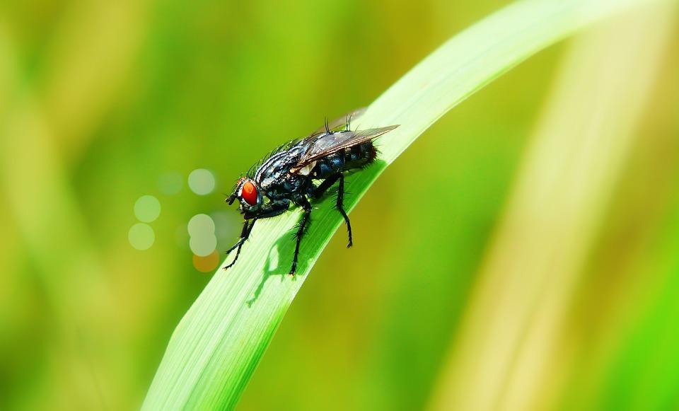 ścierwica Mięsówka, Muchówka, Insect, Antennae, Italian