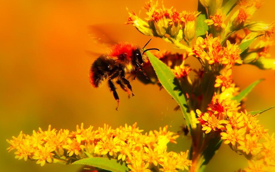 Bumblebee Ore, Flight, Antennae, Pszczołowate