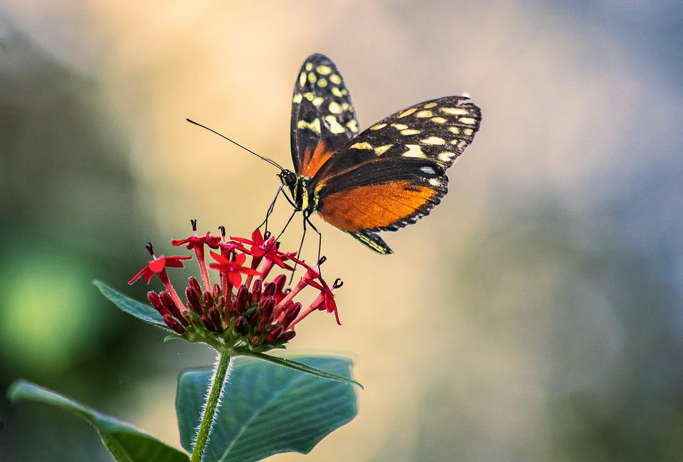 Butterfly, Insect, Wings, Antennae, Flowers, Petals
