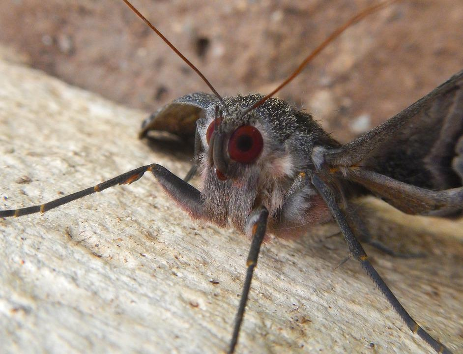 Butterfly, Flying, Hairy, Antennas, Wing, Insects