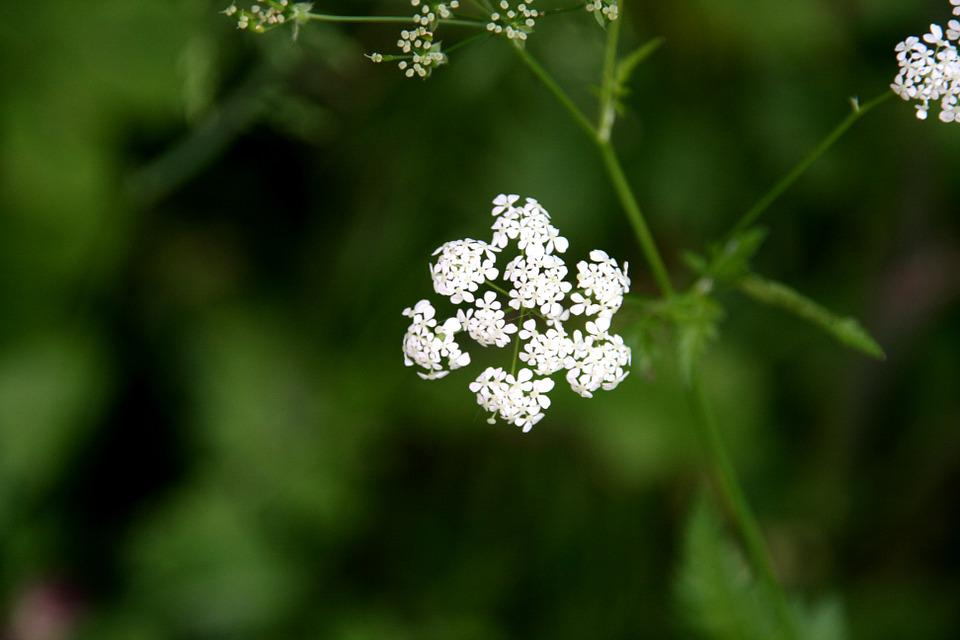 Cow Parsley, Anthriscus Sylvestris, White Flower