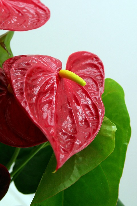 Anthurium Andreaum, Flamingo Flower, Anthurium