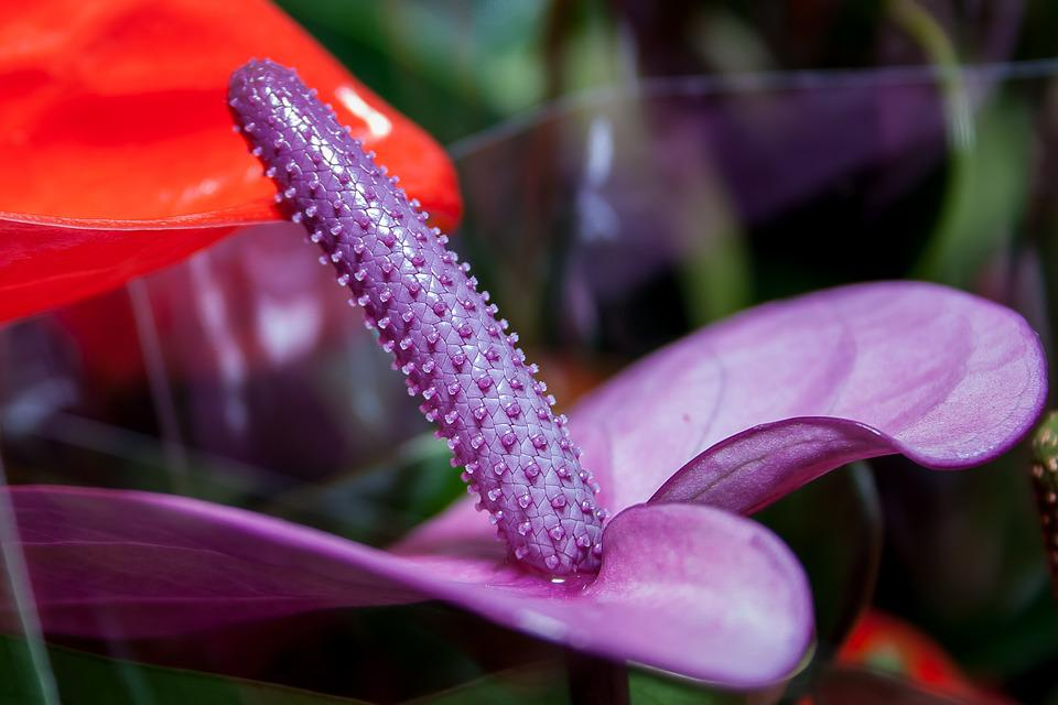 Anthurium, Purple, Flamingo Flower, Flower, Close