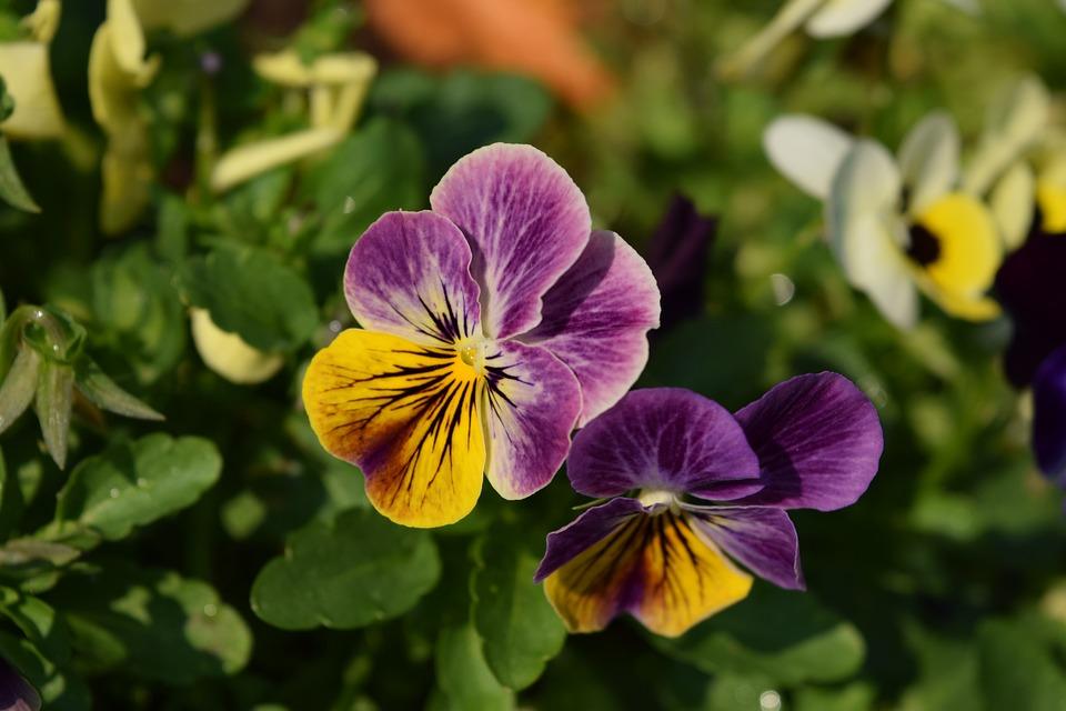 Purple Flowers, Anthurium Flowers