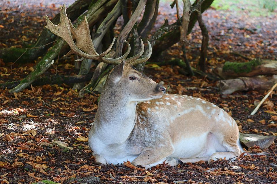 Sika Deer, Noble Deer, Hirsch, Antler, Animal World