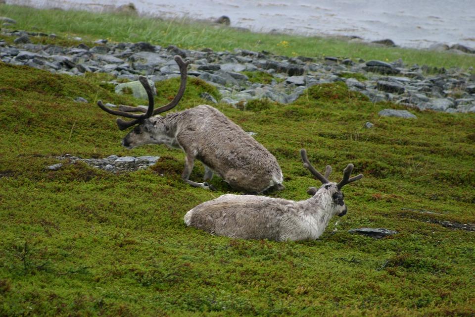 Reindeer, Animals, Wild, Wildlife, Antlers, Pair, Two