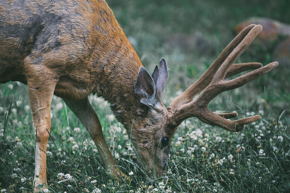Animal, Animal Photography, Antlers, Blur, Buck