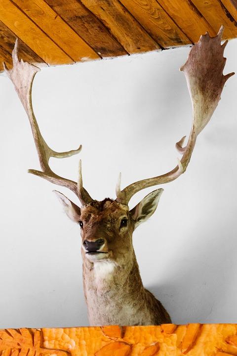 Animal, Antler, Antlers, Buck, Deer, Head, Herbivore