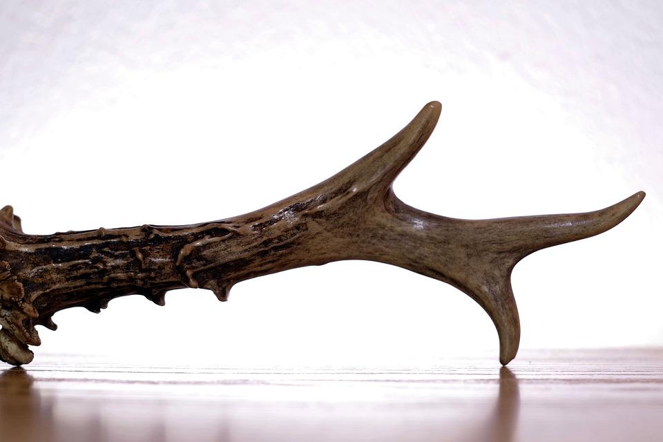 Antlers, Horn, Sarna, Hart, Bone, Trophy, Hunting
