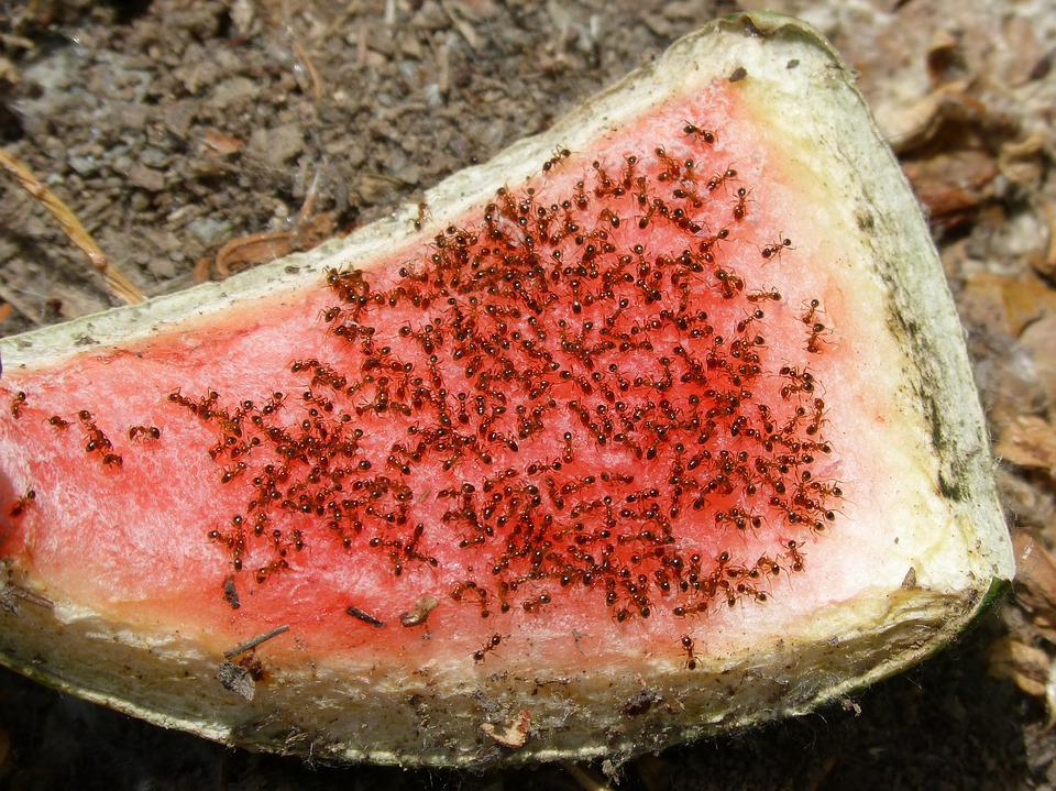 Ants, Red Ants, Recycle, Recyclers Animals, Watermelon