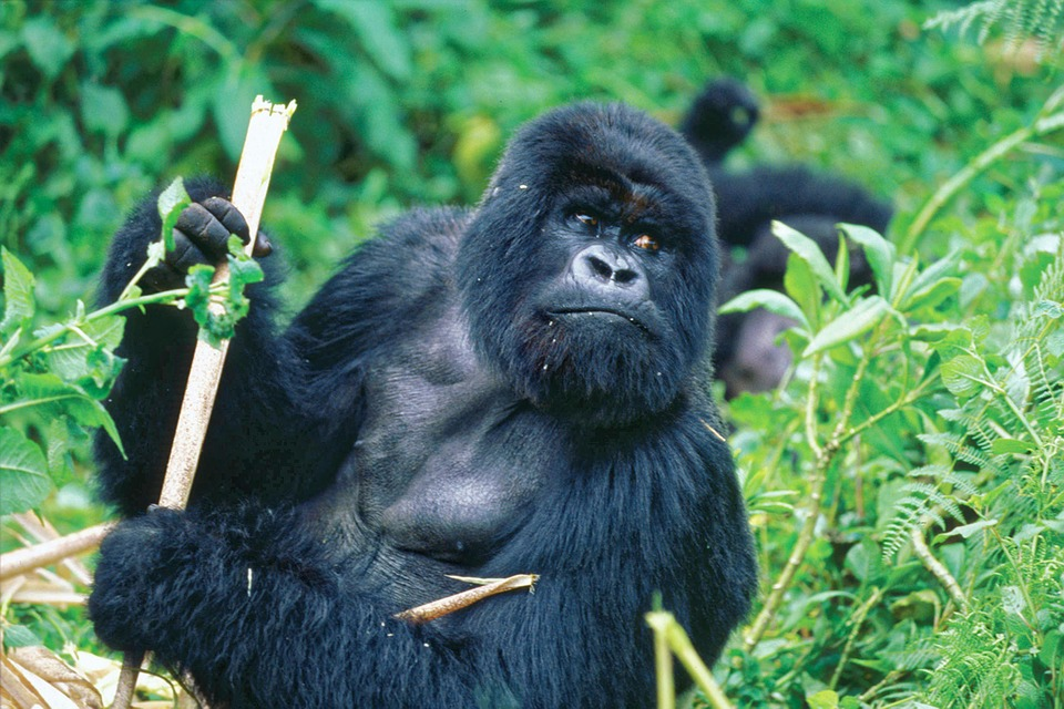 Gorilla, Bamboo, Monkey, Ape, Animal, Mammal, Nature