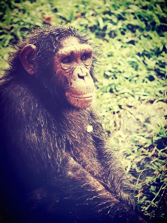 Animal, Monkey, Chimp, Relaxing, Ape, Trees, Africa