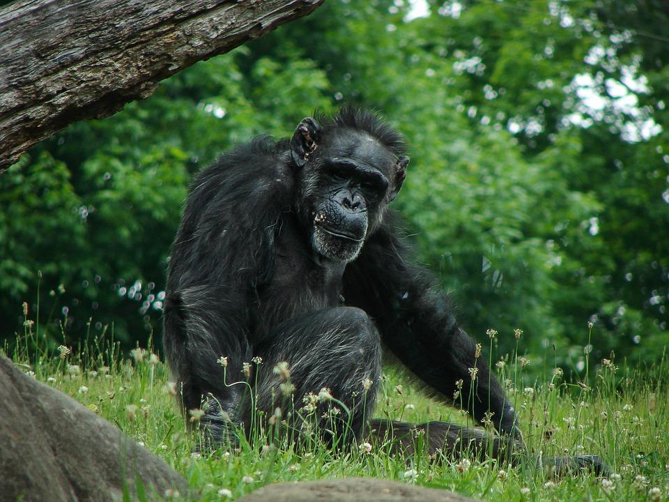 Chimpanzee, Chimp, Animal, Wildlife, Nature, Ape, Wild