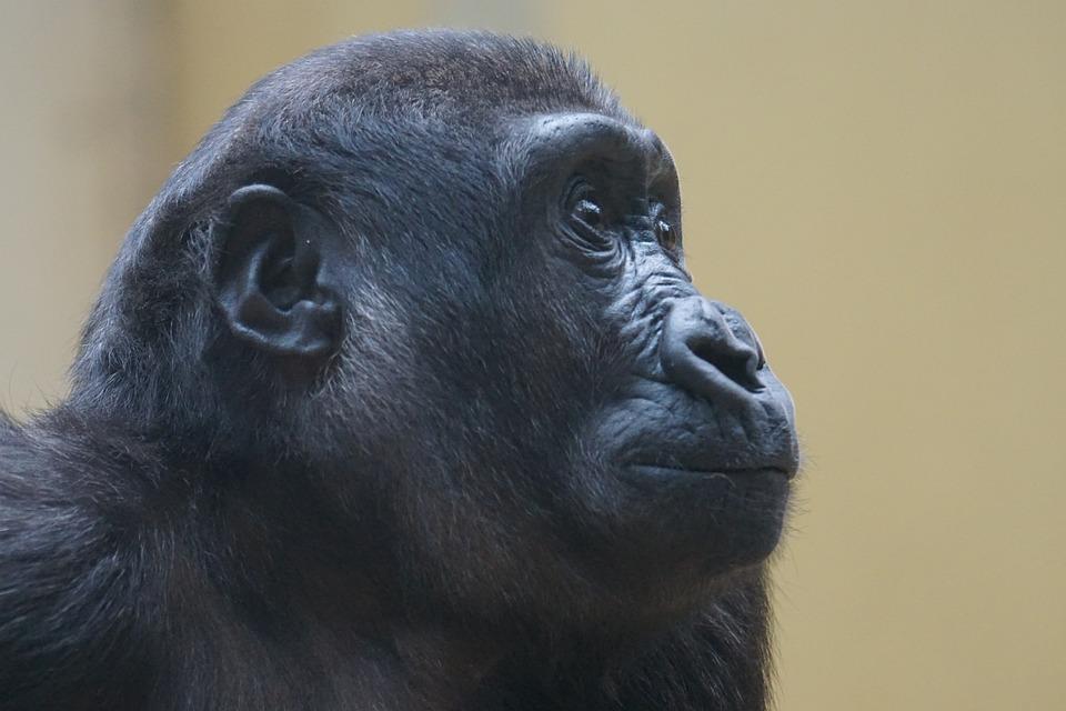 Gorilla, Ape, Primate, Monkey, Watch, View, Close
