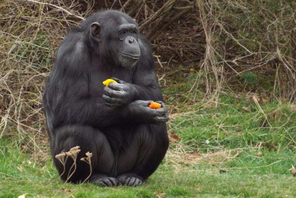 Gorilla, Primate, Ape, Eating