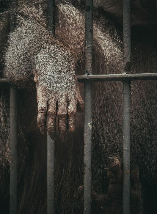 Animal, Ape, Cage, Mammal, Primate, Zoo