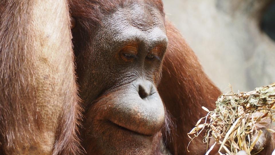 Orangutan, Monkey, Ape, Primate, Wildlife, Wild, Animal