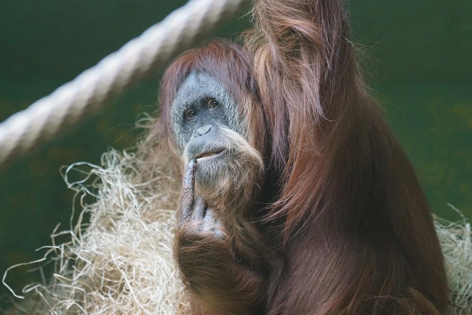 Orang Utan, Monkey, Ape, Female, Primate, Thinking