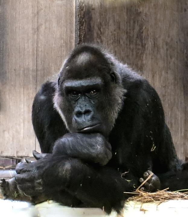 Gorilla, Monkey, Ape, Black, Dominant, Silverback