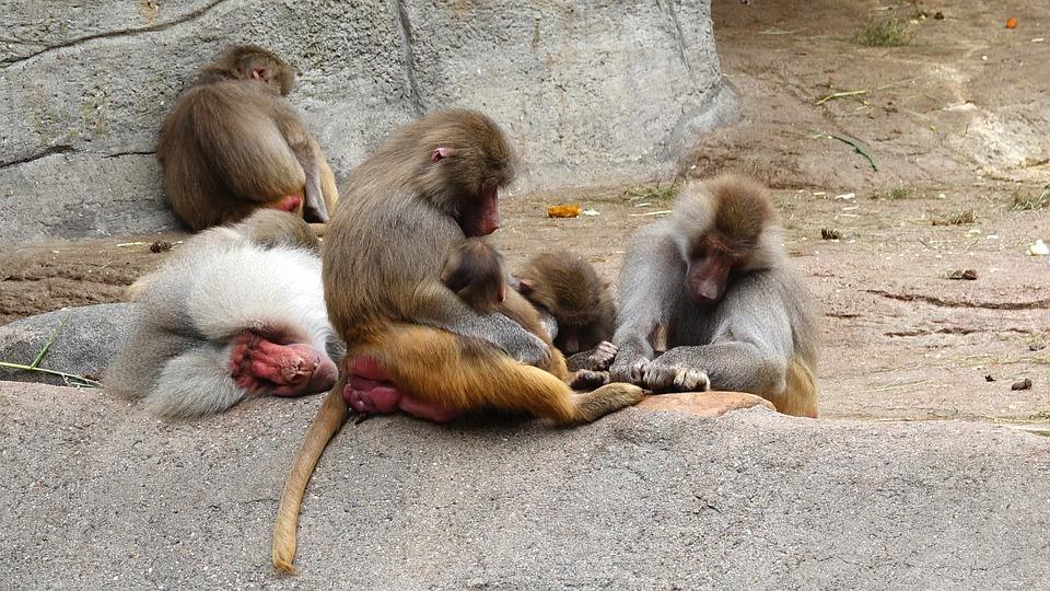 Nap, Ape, Zoo, Baboons, Hagenbeck Hamburg