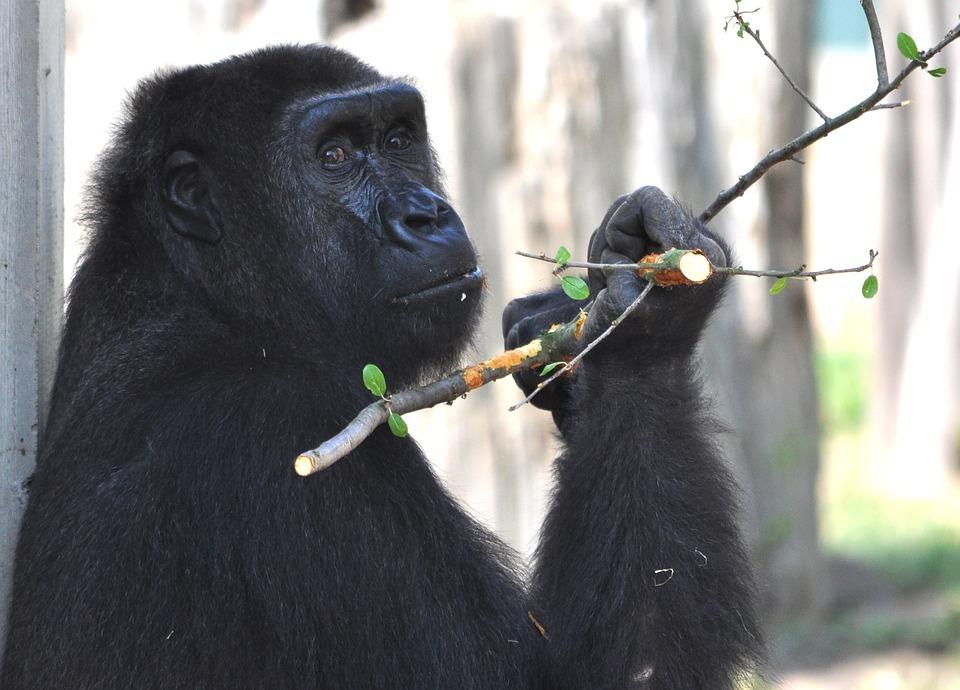 Gorilla, Zoo, Monkey, Ape, Silverback, Animals, Mammal