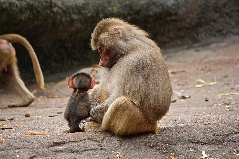 Ape, Watch, Zoo, Child, Together, Small, Mother