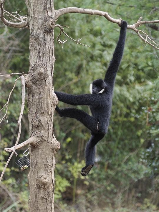 White-cheeked Gibbon, Ape, Zoo, Monkey, Animal